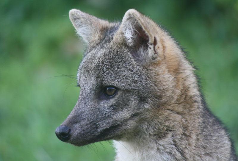 Крабовая лисица