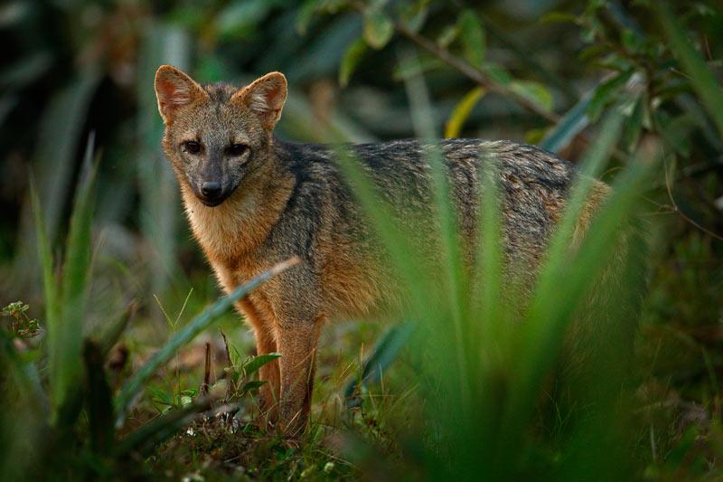 Саванновая лисица