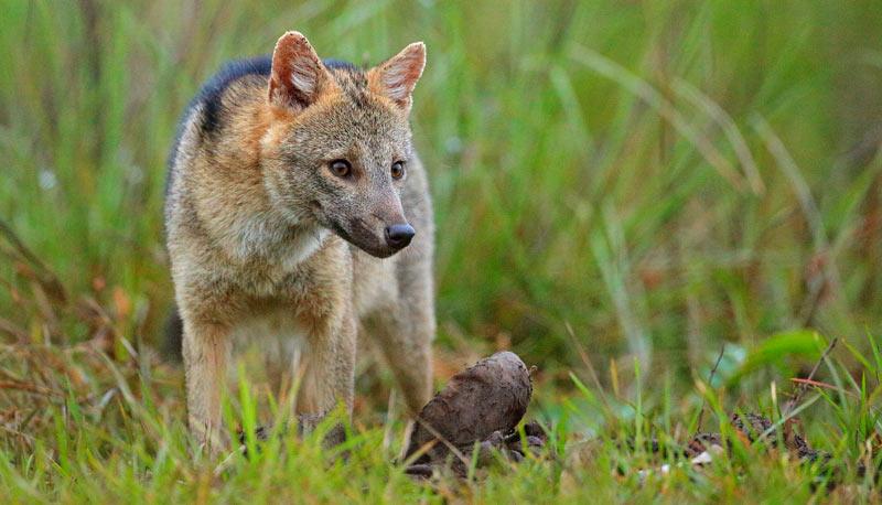 Майконг или саванновая лисица
