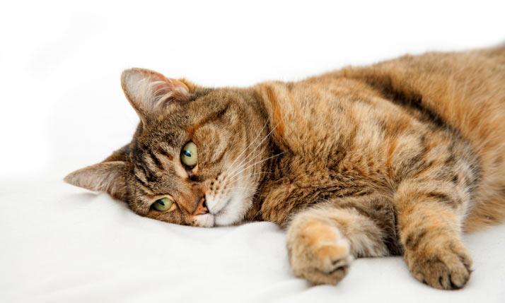 Синулокс для кошек – назначение, инструкция, отзывы