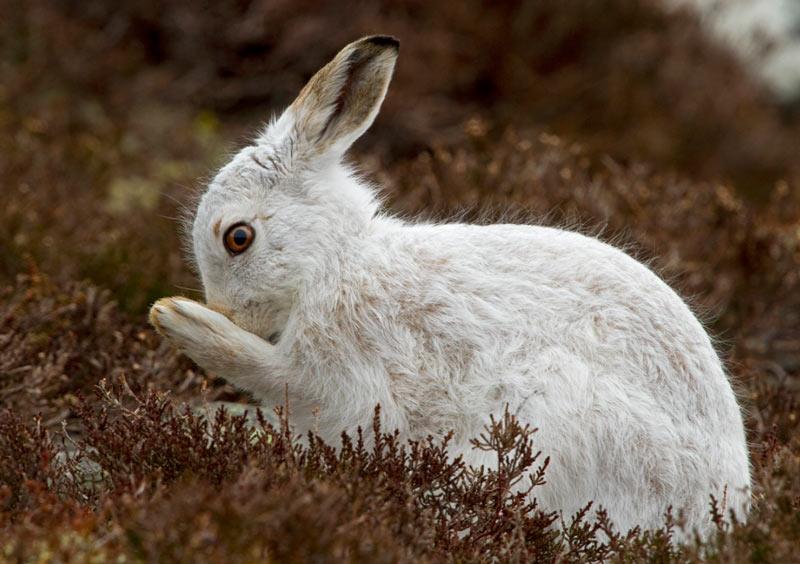 Зайцы-беляки ведут преимущественно территориальный и одиночный образ жизни
