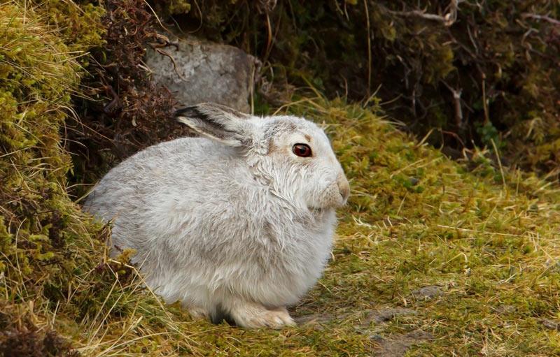 Зайцы-беляки являются типичными обитателями тундры, а также лесной и частично лесостепной зоны Северной Европы