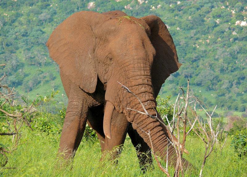 Животные саванны - Саванный слон