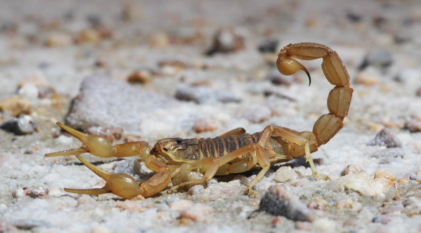 Животные саванны - Скорпионы
