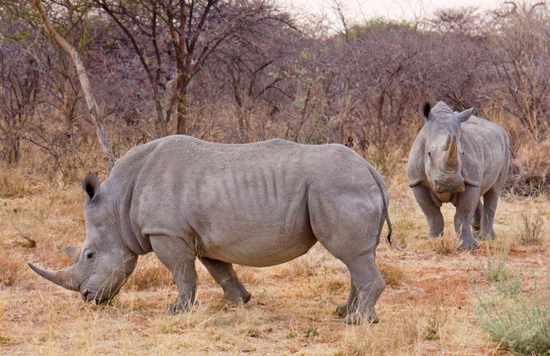 Животные саванны - Носороги