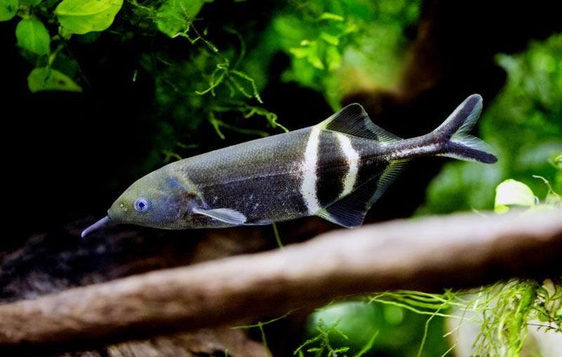 Животные саванны - Рыбы-слоны