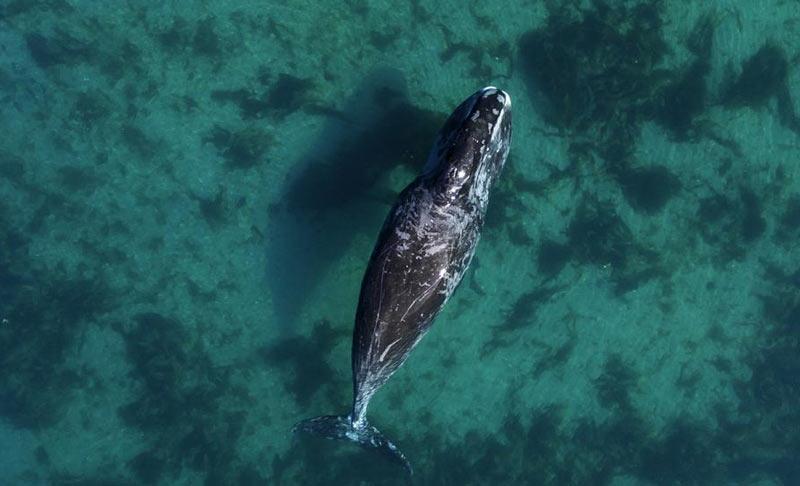 Гренландские киты обитают в суровых арктических условиях, из-за чего наблюдать за ними весьма проблематично