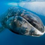 Гренландский кит, или полярный кит (лат. Balaena mysticetus)