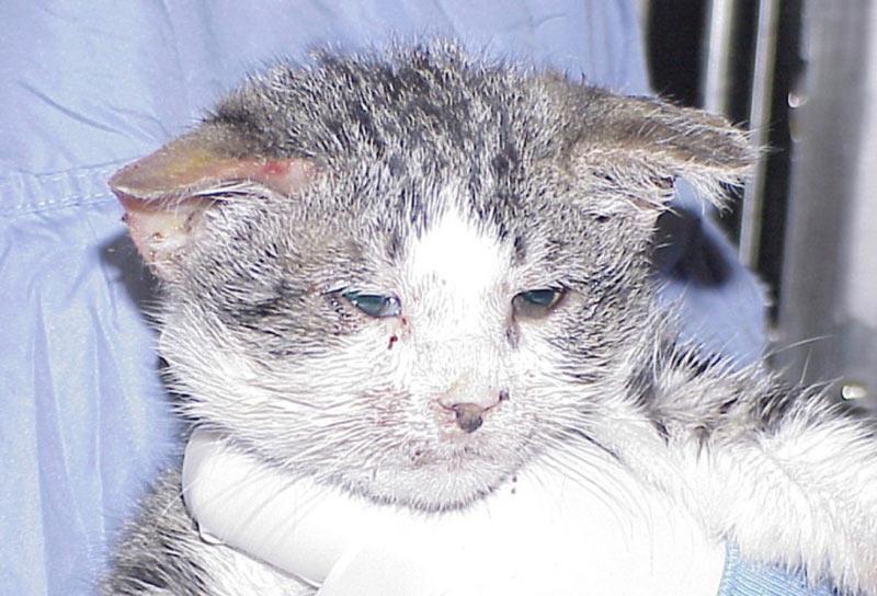 Для лечения этой кошачьей болезни домашние лекарства и средства являются неэффективными