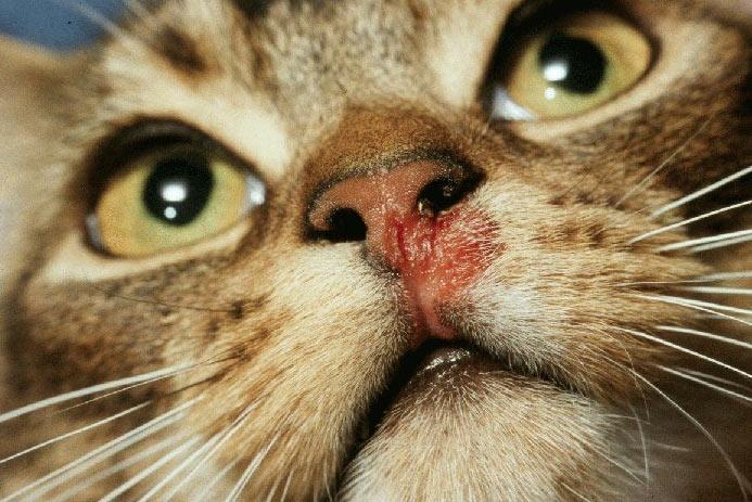 Калицивирус (FCV) является разновидностью кошачьего гриппа