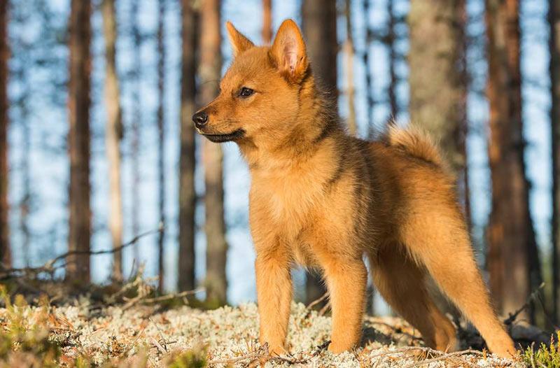 Карело-финская лайка – фото, описание, содержание, купить, отзывы