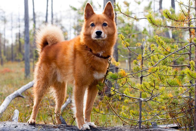 Карело-финская, или охотничья лайка – одна из достаточно популярных в определённых кругах собак