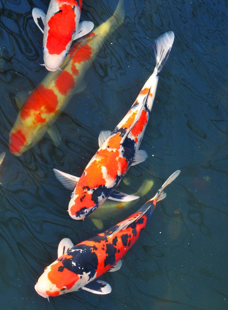 Парчовые карпы относятся к миролюбивым аквариумным рыбкам