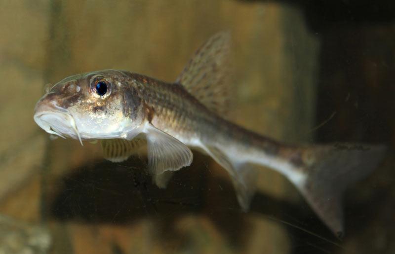 К 3-4 году жизни рыба пескарь становится половозрелой