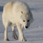 Полярный волк (лат. Canis lupus tundrarum)