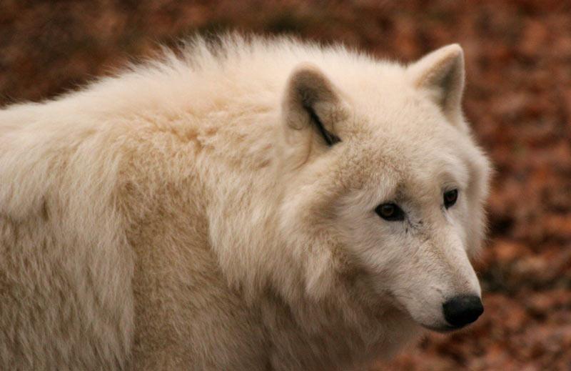 Средняя продолжительность жизни полярного волка в условиях дикой природы может варьировать от пяти до десяти лет