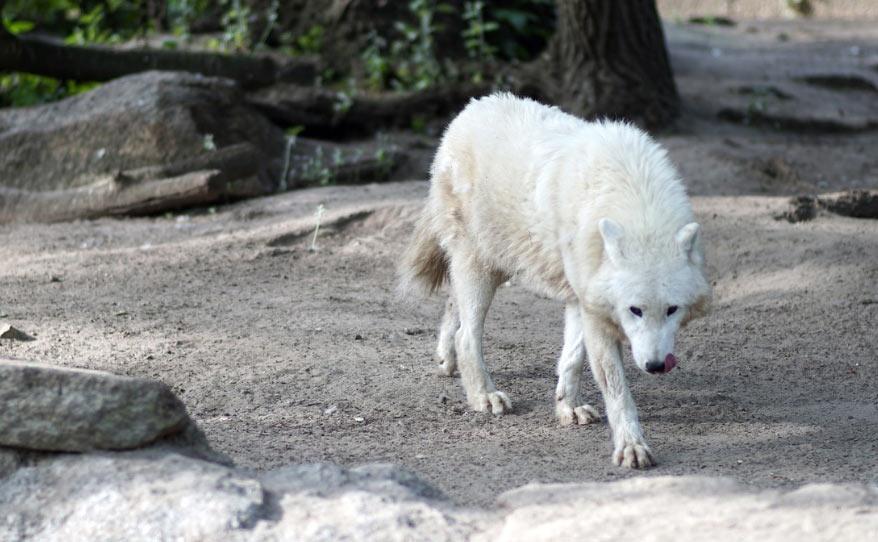 Волки устремляются за жертвой, пытаясь отбить от общего стада самых молодых или очень ослабленных животных