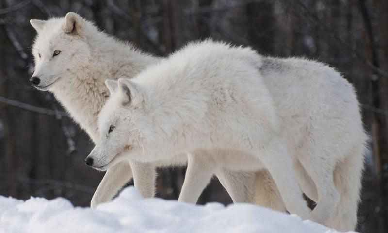 Полового созревания самцы полярного волка достигают в трёхлетнем возрасте, а самки становятся половозрелыми на третий год жизни
