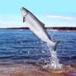 Сёмга, или атлантический лосось (лат. Salmo salar)