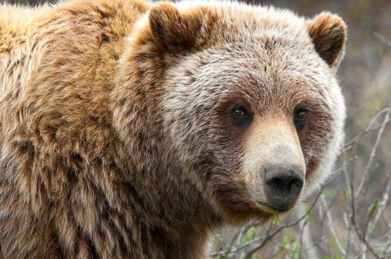 Виды медведей - описание и особенности
