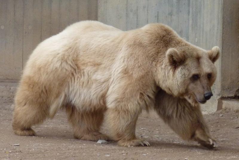 Виды медведей: гролары