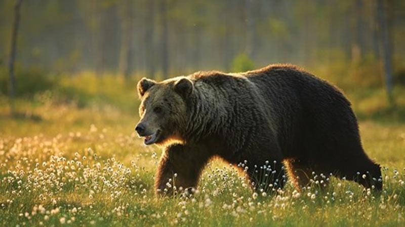 Активны медведи, как правило, в дневное время суток, но некоторые из них предпочитают кормиться ночью