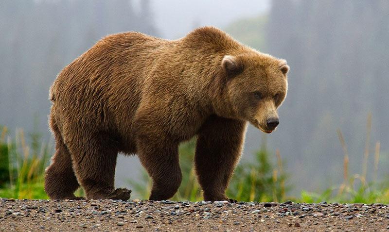 Виды медведей: бурые медведи
