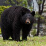 Виды медведей — описание и особенности
