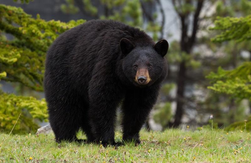 Виды медведей: барибал