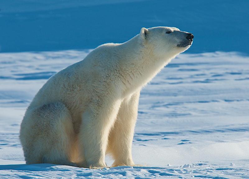 Виды медведей: белые медведи