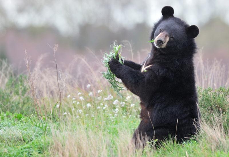 Виды медведей: белогрудые медведи