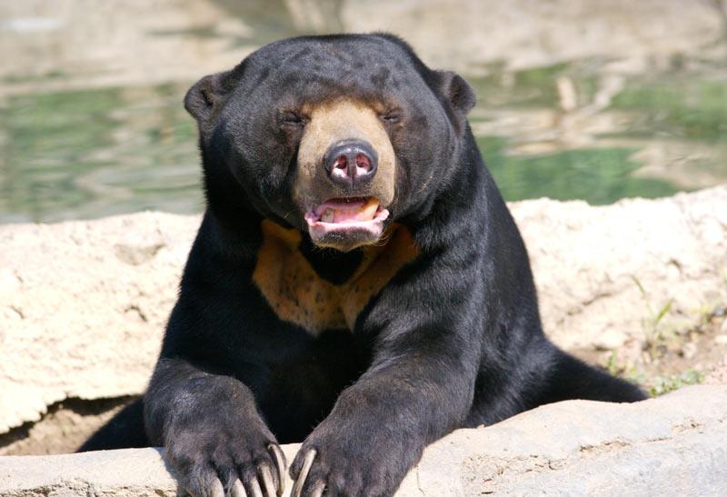 Виды медведей: малайские медведи