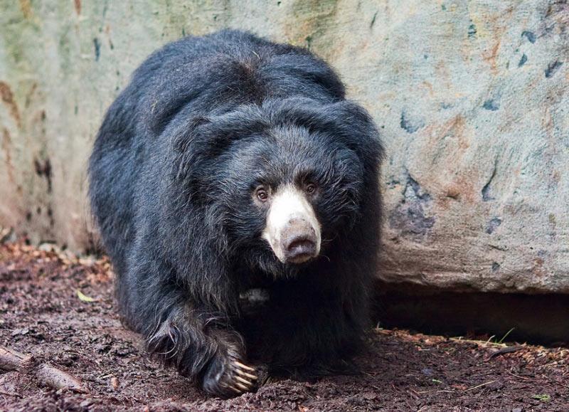 Виды медведей: медведи-губачи