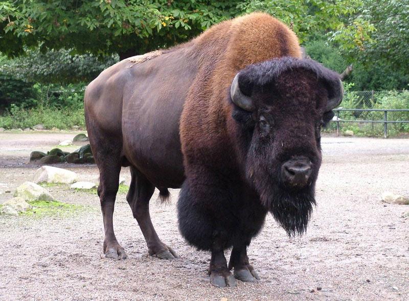 Животные Северной Америки: американский бизон