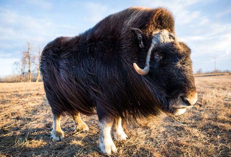 Животные Северной Америки: мускусный бык