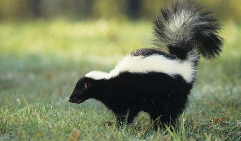 Животные Северной Америки: скунс