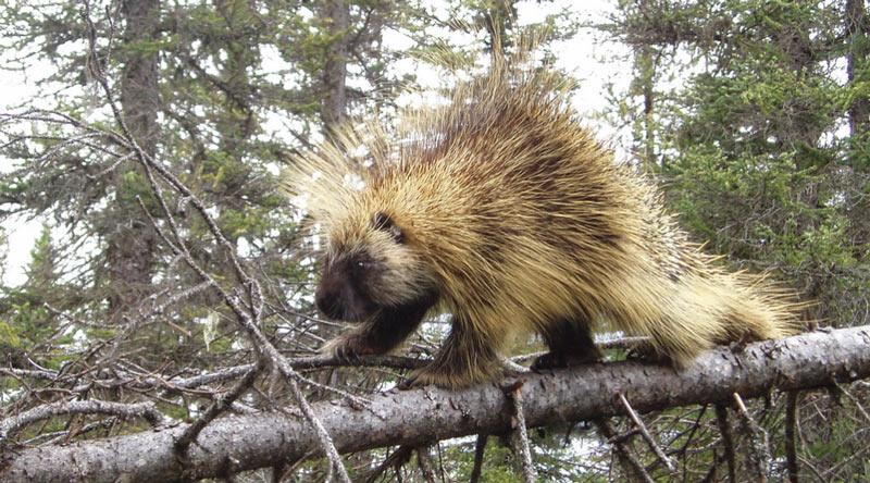 Животные Северной Америки: поркупин
