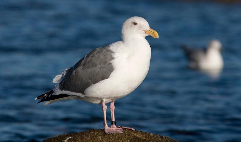 Животные Северной Америки: западная чайка