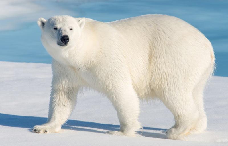Животные Северной Америки: полярный белый медведь
