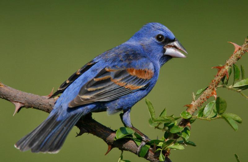 Животные Северной Америки: голубая гуирака