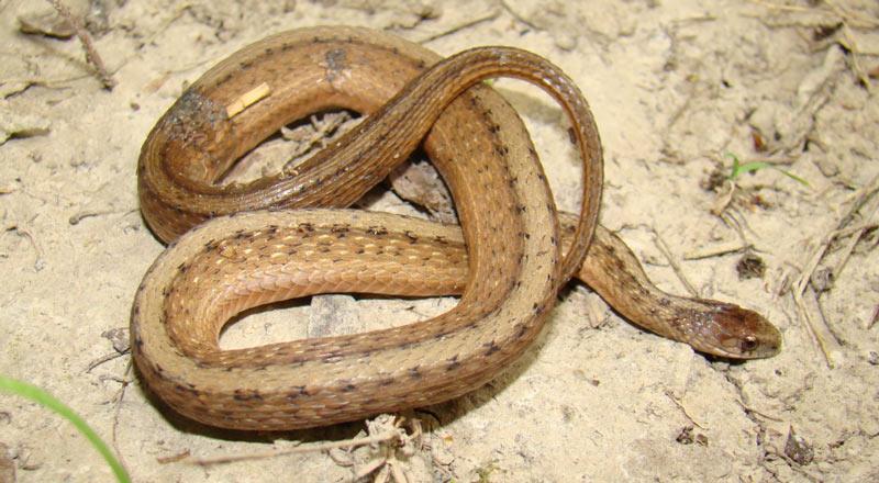 Животные Северной Америки: змея Декея