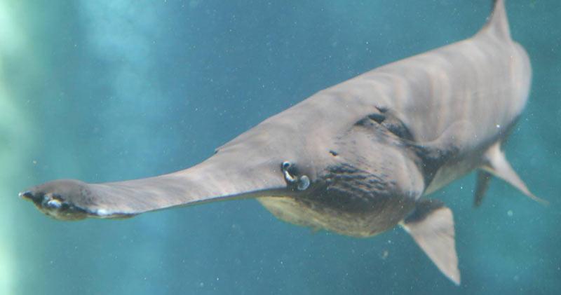 Животные Северной Америки: веслонос