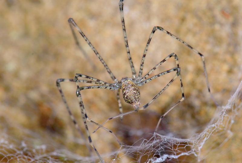 Животные Северной Америки: абажуровые пауки