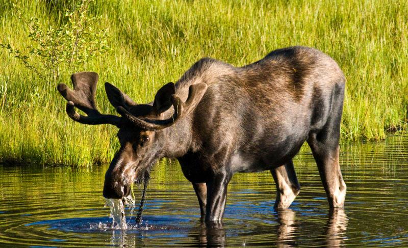 Животные Северной Америки: американский лось