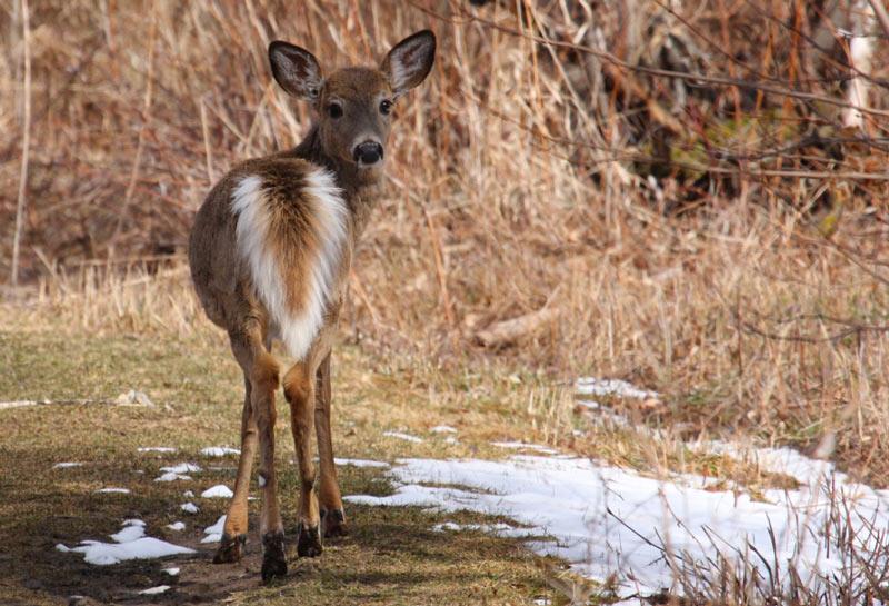Животные Северной Америки: белохвостый олень