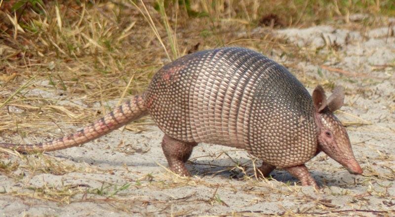 Животные Северной Америки: девятипоясный броненосец