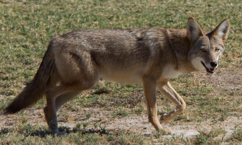 Животные Северной Америки: койот