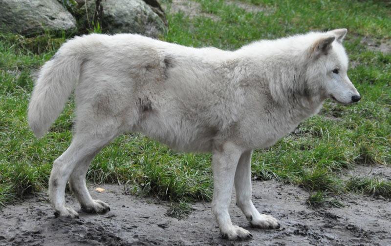 Животные Северной Америки: мелвильский островной волк