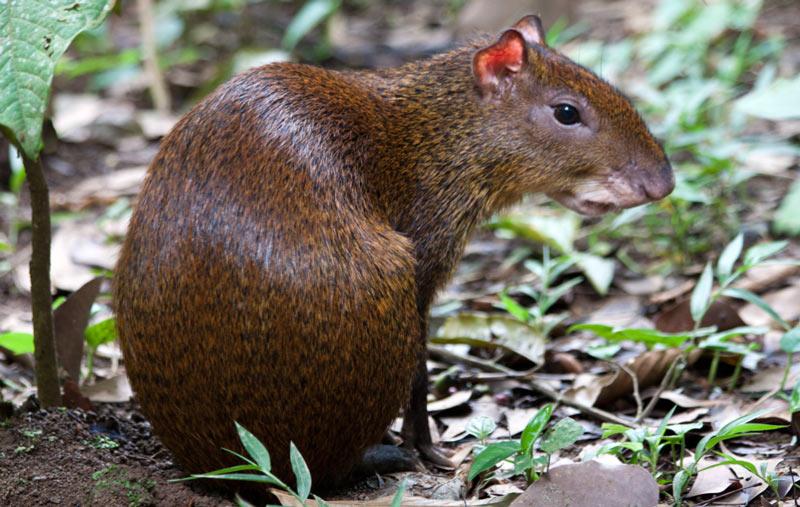 Животные Южной Америки: агути