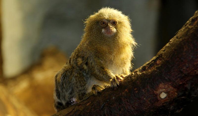 Животные Южной Америки: карликовая игрунка